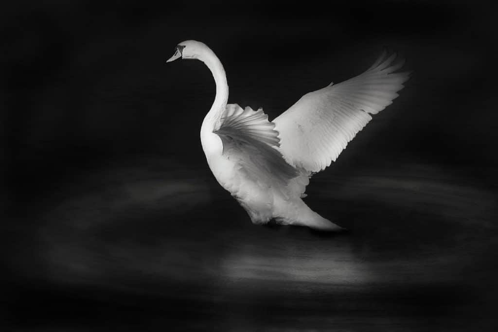 Cygne blanc qui s'envole pour illustrer l'élégance