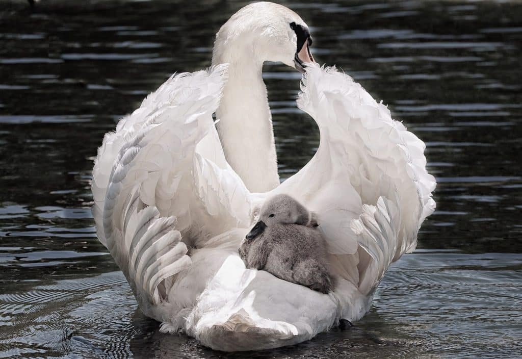 Cygne bienveillant qui protège son petit et l'emmène dans ses déplacements sous son aile. L'élégance, ce mindset que nous illustre ce cygne